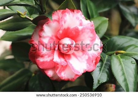 Camellia flower and raindrop,closeup of red with white camellia flower in full bloom with raindrop in the garden