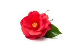 camellia flower on white background