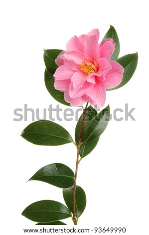 Camellia flower, Williamsii Donation, isolated against white - stock photo
