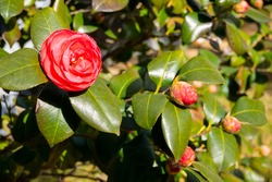 Camellia flowers that announce spring with intense red color