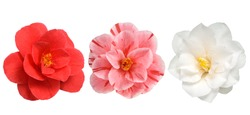 Camellia Flowers white red and pink Isolated on White Background