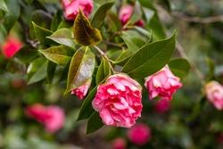 Camellia Japonica Betty Sheffield Supreme flower grown in a garden in Madrid