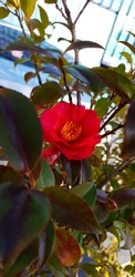 Camellia nearsighted photographs of the sun