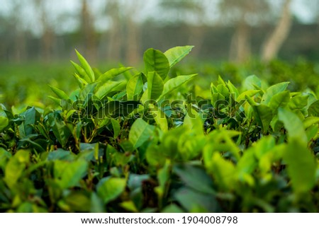 Camellia sinensis Preferred Common Name tea. Taxonomic Tree, Domain, Eukaryota, Kingdom Plantae Foto stock ©