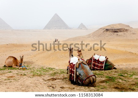 Camels and the pyramids of giza, egypt #1158313084