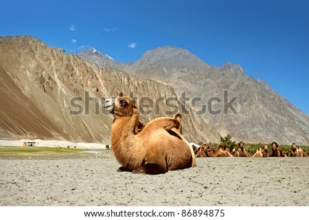 Camels are relaxing in the sand.  Nubra Valley. Ladakh. India