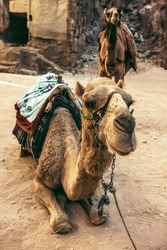 Camels are seen in front of the treasury of Petra in the desert of Wadi Musa in Jordan