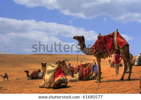 Camels around the pyramids waiting for tourists, Egypt (HDR Photo)