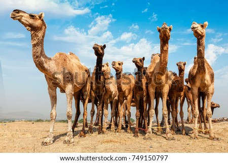 Camels at Pushkar Mela - famous camel and livestock fair in the town of Pushkar. Pushkar Mela is one of the world's largest camel fairs and important tourist attraction. Puskhar, Rajasthan, India