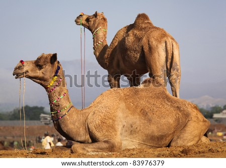 Camels at the Pushkar fair in Rajasthan, India