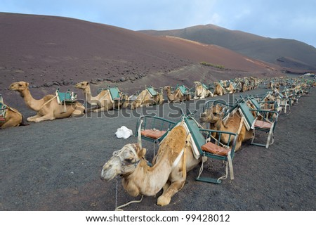 camels at Timanfaya national park wait for tourists for a guided tour