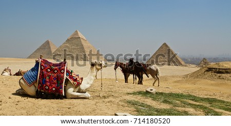 Camels by the Pyramids - Cairo, Egypt #714180520