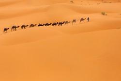 Camels caravan in Desert Sahara in Morocco, dunes in background