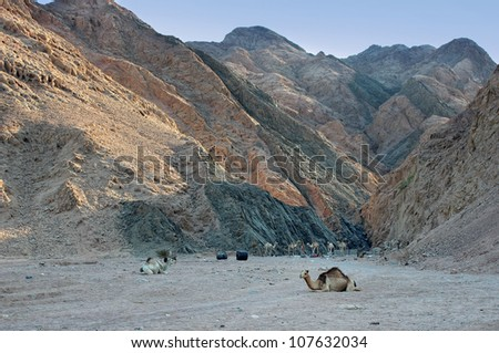 Camels (Dromedaries) saddled up at the base of the Sinai Mountains
