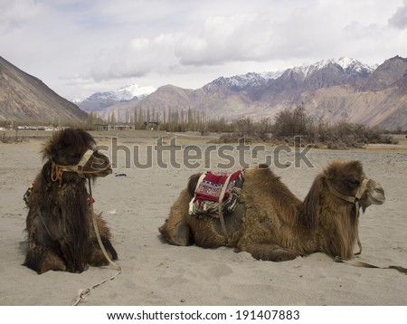 Camels for tourist #191407883