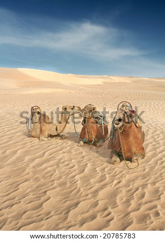 Camels gossip in the Sahara whilst they wait for the next Human to come along