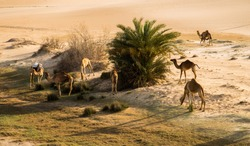 Camels Grazing in the Arabian Desert after Rain, Dammam, Eastern Province, Saudi Arabia
