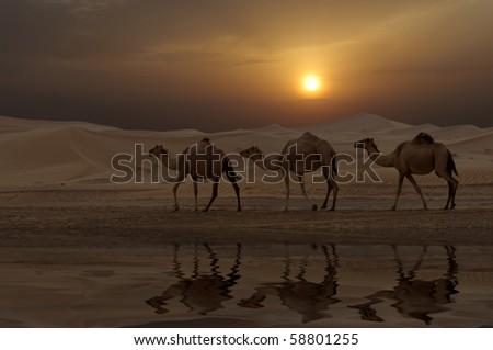 Camels in a Dubai Desert Camel Farm