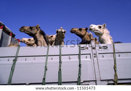 Camels in a pick-up