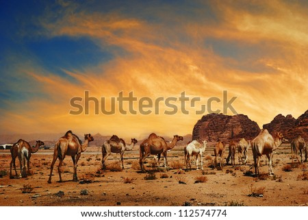 Camels in desert of Wadi Rum, Jordan