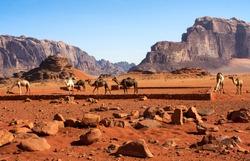 Camels in desert Wadi Rum , Jordan