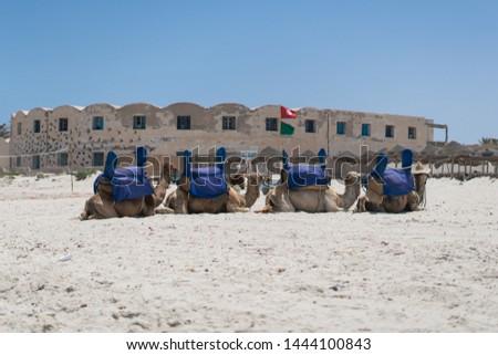 Camels in Djerba island / Tunisia beach #1444100843