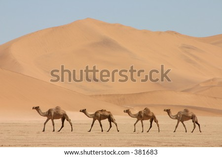Camels in front of a dune - stock photo