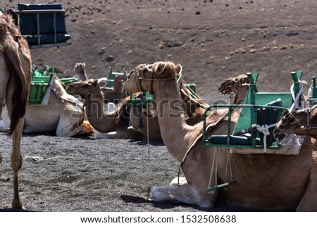 Camels in line at Timanfaya National Park waiting for tourists, Lanzarote, Canary Islands, Spain