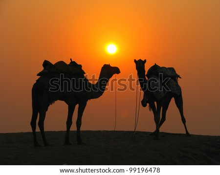 Camels in the desert at sunset, Sam Sand Dunes near Jaisalmer, India