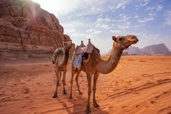 Camels in the desert of Jordan, Aqaba,  Wadi Rum