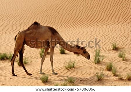Camels in the Dubai Desert