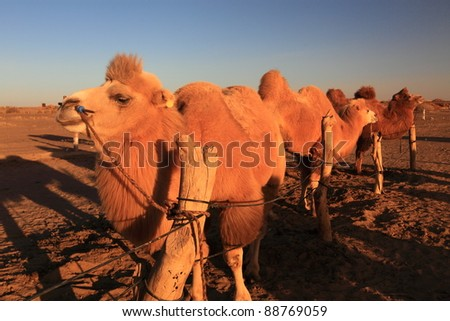Camels in the sunset
