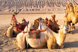 Camels laying on the sand resting after work day looking to the route to the flame mountain , good attraction business for tourists and child
