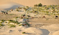 Camels, Looking like Toys, Are Seen from Atop a Sand Dune in the Arabian Desert, Eastern Province