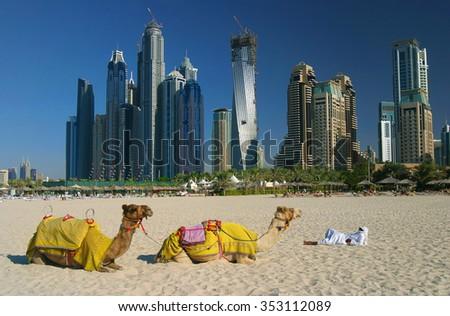 Camels on Dubai Marina Beach, United Arab Emirates