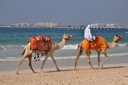 camels on the marina beach in Dubai