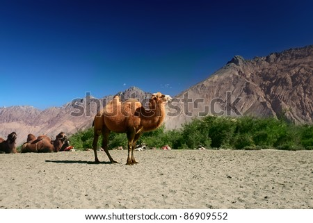 Camels on the Nubra Valley. Ladakh. India