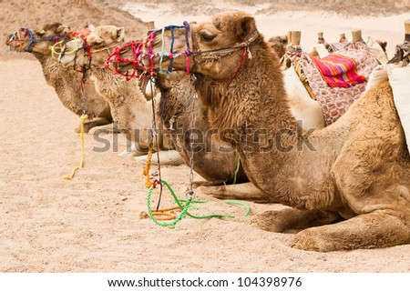 camels on the rest