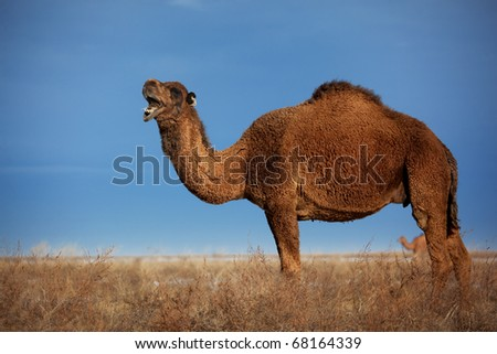 Camels on winter desert in Kazakhstan - stock photo