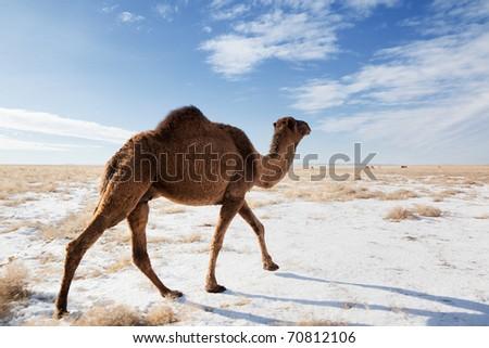 Camels on winter desert in Kazakhstan - stock photo