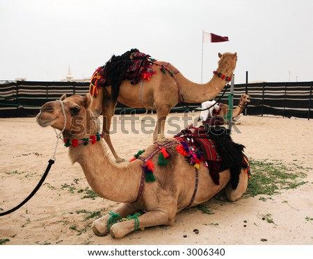 Camels readied for riding in the traditional bedouin style at a compound on the outskirts of Doha, Qatar, during the Cultural Week, 2007. - stock photo