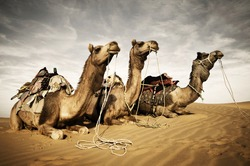 Camels Resting in The Thar Desert, Rajasthan, India