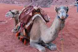 Camels Sitting on Red Sand in Wadi Rum, Jordan
