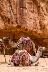 Camels sitting on the background of a red rock in Petra.