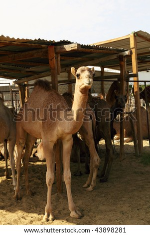 Camels stand under a makeshift shelter at the livestock market in Doha, Qatar