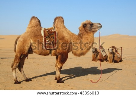 Camels standing and resting in the desert