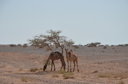 Camels under a lonely tree in the Jordanian desert