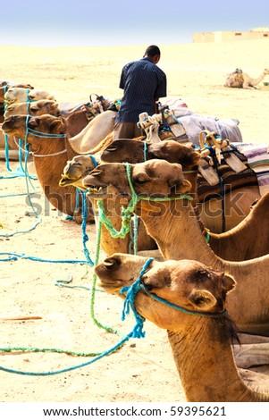 Camels waiting for ridding