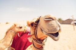 camels waiting for tourists at a desert camp
