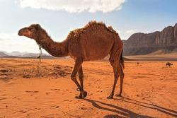 Camels walking on orange desert, one large animal in foreground, mountains background, typical Wadi Rum scenery